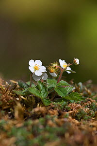Wild strawberry (Fragaria vesca) with flowers and fruit, Silverdale, Lancashire, UK, May - Ann & Steve Toon