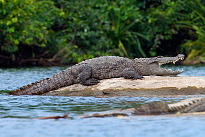 Marsh Crocodile or Mugger (Crocodylus palustris) resting on a rock in a river. Crocodiles open their mouths to regulate their body temperature when basking. Cauvery River, Karnataka, India.  -  Axel Gomille