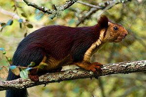 Indian Giant / Giant Malabar Squirrel (Ratufa indica) on a branch. Karnataka, India.  -  Axel Gomille
