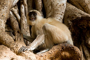 Southern plains grey / Hanuman langur {Semnopithecus dussumieri} amongst the branches of a tree. Rajasthan, India .  -  Axel Gomille