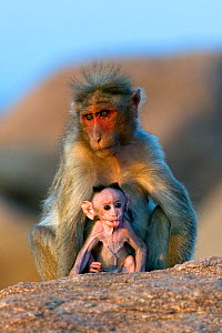 Bonnet Macaque (Macaca radiata) mother with infant. Karnataka, India.  -  Axel Gomille