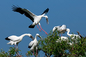 Asian Open-bill Stork (Anastomus oscitans), adults at colony. Karnataka, India.  -  Axel Gomille