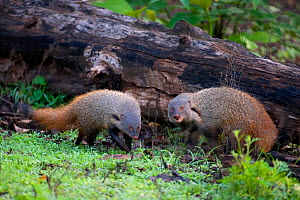 Stripe-necked Mongoose (Herpestes viticollis) foraging, the largest mongoose in Asia. Western Ghats, South India. - Axel Gomille
