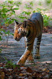Tiger (Panthera tigris) cub walking. Bandhavgarh National Park, India. Vertical crop of 1487925  -  Axel  Gomille