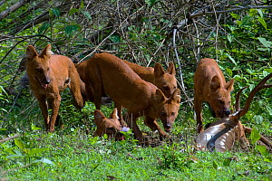 Dhole / Asiatic Wild Dog (Cuon alpinus) pack feeding on Spotted Deer (Axis axis). Karnataka, India.  -  Axel Gomille