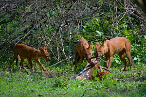 Dhole / Asiatic Wild Dog (Cuon alpinus) adults and puppy feeding on Spotted Deer (Axis axis). Karnataka, India.  -  Axel Gomille
