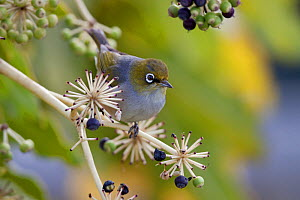 Silvereye / Grey Backed White-eye (Zosterops lateralis) perching in a Japanese Aralia (Fatsia japonica). Havelock North, Hawkes Bay, New Zealand, September.  -  Brent  Stephenson