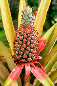 Pineapple growing,  Indonesia.  -  Georgette Douwma