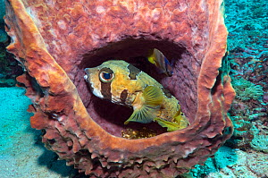 Black-blotched Porcupinefish / Short-spine Porcupinefish (Diodon liturosus) and a Klein's butterflyfish (Chaetodon kleinii) sheltering in barrel sponge. Komodo National Park, Indonesia.  -  Georgette Douwma