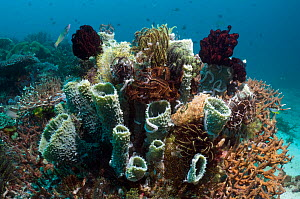 Tube Sponge (Callyspongia sp.) with crinoids on coral reef. Rinca, Komodo National Park, Indonesia.  -  Georgette Douwma