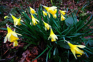 Wild daffodil (Narcissus pseudonarcissus) flowering, Wiltshire, UK, March  -  Colin Varndell