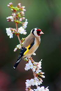 Goldfinch (Carduelis carduelis) perched in cherry blossom, Dorset, UK, March - Colin Varndell