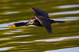 Double-crested Cormorant (Phalacrocorax auritus) in flight over water. Florida, USA, April.  -  Jeff Vanuga