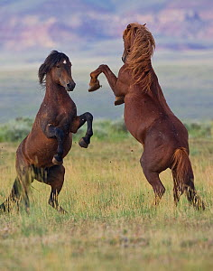 McCullough Peaks wild horses (Equus caballus) rearing up against each other. Cody, Wyoming, July.  -  Jeff Vanuga