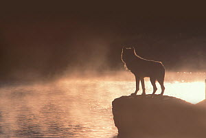 Silhouette of Gray Wolf (Canis lupus) standing on a rock by the Yellowstone River. Yellowstone National Park, USA,  -  Jeff Vanuga