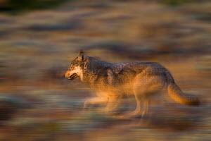 Gray Wolf (Canis lupus) running. Grand Teton National Park, Wyoming, September.  -  Jeff Vanuga
