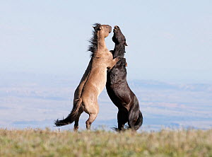 Wild Horses / mustangs, two stallions rearing up fighting, Pryor Mountains, Montana, USA, June - Carol Walker