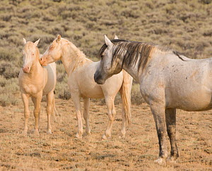 Wild Horses / mustangs, two cremello colts Claro and Cremosso, McCullough Peaks Herd Area, northern Wyoming, USA, August 2009, later to be adopted by photographer  -  Carol Walker