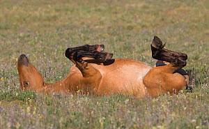 Wild horse / mustang, mare rolling, Pryor Mountains, Montana, USA, July  -  Carol Walker