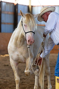 Young male cremello Wild horse / mustang Cremosso that had been rounded up from a McCullough Peak herd and put up for adoption, trainer Rich Scottteaching horse to lift front leg, Colorado, USA, July...  -  Carol Walker