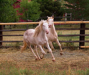 Two young male cremello Wild horses / mustangs Claro and Cremosso that had been rounded up from a McCullough Peak herd and put up for adoption, running in paddock, Colorado, USA, July 2010  -  Carol Walker