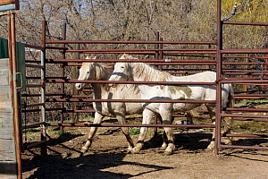 Two young male cremello Wild horses / mustangs Claro and Cremosso that had been rounded up from a McCullough Peak herd and put up for adoption, waiting to be transported to new home, April 2010  -  Carol Walker