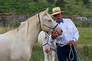 Two young male cremello Wild horses / mustangs Claro and Cremosso that had been rounded up from a McCullough Peak herd and put up for adoption, with trainer Rich Scott, learning to be handled, July 20...  -  Carol Walker
