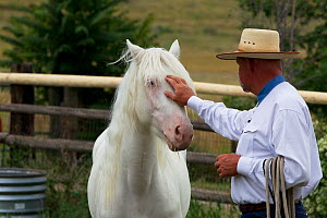 Young male cremello Wild horse / mustang Claro that had been rounded up from a McCullough Peak herd and put up for adoption, with trainer Rich Scott, learning to be handled, July 2010, model released  -  Carol Walker