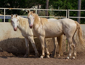 Two young male cremello Wild horses / mustangs Claro and Cremosso that had been rounded up from a McCullough Peak herd and put up for adoption, in yard, June 2010  -  Carol Walker