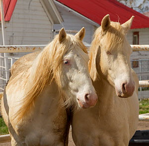 Two young male cremello Wild horses / mustangs Claro and Cremosso that had been rounded up from a McCullough Peak herd and put up for adoption, in yard, May 2010  -  Carol Walker