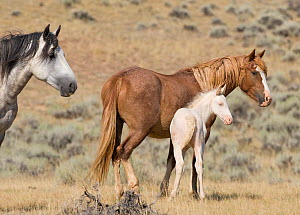 Mustangs / wild horses, cremello colt Claro with mare, McCullough Peaks herd, Wyoming, USA, August 2007  -  Carol Walker