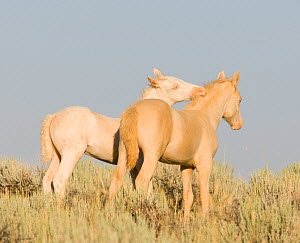 Mustangs / wild horses, two cremello colts Claro and Cremosso interacting, mutual grooming, McCullough Peaks herd, Wyoming, USA, August 2007  -  Carol Walker