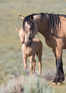 Mustangs / wild horses, cremello colt Cremosso with mare, McCullough Peaks herd, Wyoming, USA, June 2007  -  Carol Walker