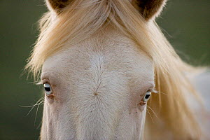 Mustang / wild horse, cremello colt Cremosso, portrait, two years, McCullough Peaks herd, Wyoming, USA, June 2009  -  Carol Walker
