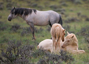 Mustangs / wild horses, cremello colt Cremosso and foal interacting, McCullough Peaks herd, Wyoming, USA, June 2009  -  Carol Walker
