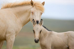 Mustangs / wild horses, two year cremello colt Cremosso and young foal, McCullough Peaks herd, Wyoming, USA, June 2009  -  Carol Walker