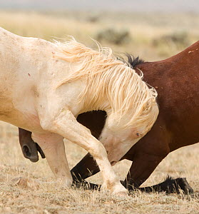 Mustangs / wild horses, cremello Cremosso and brown colt interacting, showing aggression, McCullough Peaks herd, Wyoming, USA, July 2009  -  Carol Walker