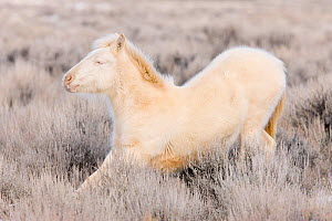 Mustang / wild horse, cremello colt Cremosso stretching, thick winter coat, McCullough Peaks herd, Wyoming, USA, February 2008  -  Carol Walker