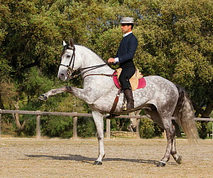 Spanish / Andalusian stallion performing Alta Escuela moves, Andalucia, Spain, model released  -  Carol Walker