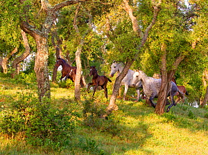Spanish / Andalusian mares and foaling running in woodland, Andalucia, Spain, April 2010  -  Carol Walker