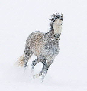 Andalusian mare running in snow storm, Colorado, USA - Carol Walker