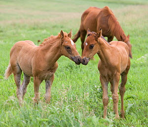 RF- Quarter horse, sorrel mare and foals. Double Diamond ranch, Nebraska, USA. July. (This image may be licensed either as rights managed or royalty free.) - Carol Walker