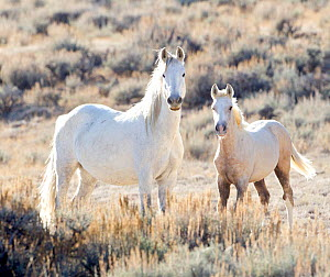 Mustang / Wild horses, mare with foal Mica, Adobe Town herd, Wyoming, USA, October 2010, grey foal went on to be adopted by photographer  -  Carol Walker