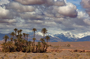 Date Palms and the Atlas Mountains in the far distance. Skoura Oasis, Morocco, North Africa, March 2011.  -  Ernie Janes