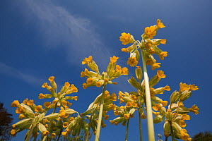 Cowslips (Primula veris) seen from a low angle. Norfolk, UK, April. - Ernie Janes
