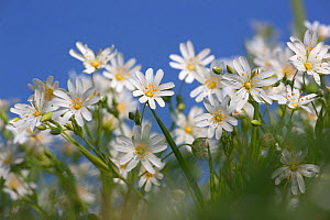 Greater Stitchwort (Stellaria holostea) in early April. UK.  -  Ernie Janes