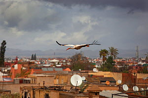 White Stork (Ciconia ciconia) in flight over city buildings. Marakesh, Morocco, March.  -  Ernie Janes