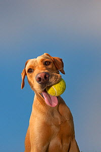 Yellow Labrador with ball in its mouth against blue sky.  -  Ernie Janes