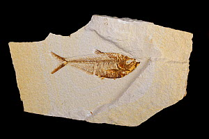 Fossil fish (Diplomystis dentatus). Sample from Green river formation: Eocene, Wyoming, 50 million years old. - John Cancalosi