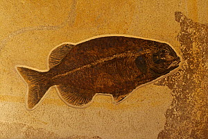 Fossil fish (Phareodus). Sample from Green River formation, Wyoming, 50 million years old (Eocene). - John Cancalosi